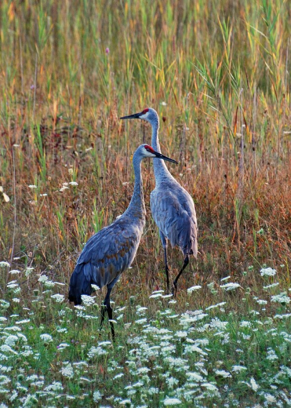 It Was Twilight And Sandhill Cranes >> MyBayCity.com Saginaw Basin Land Conservancy Announces 2009 Photo Contest Winners